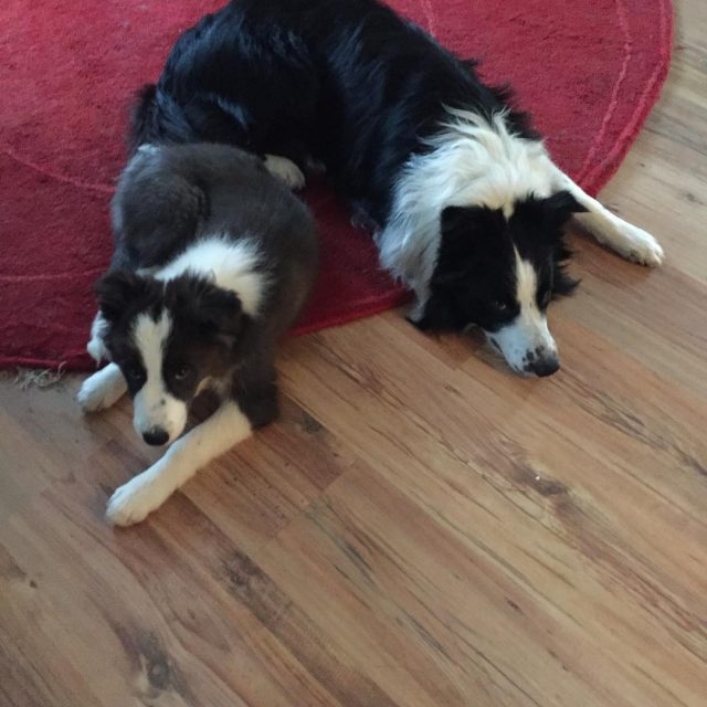 Nice chillWeekend to all of you instabordercolllie instaborder instadog bordercolliepuppyhellip
