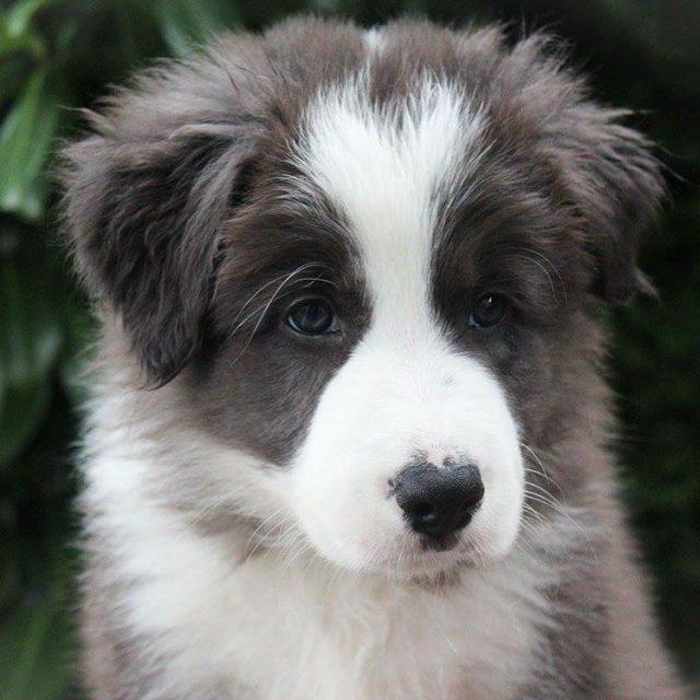 Proudly present Lewis ilovemybordercollie ilovemypet ilovemydog bordersofinstagram traveldog