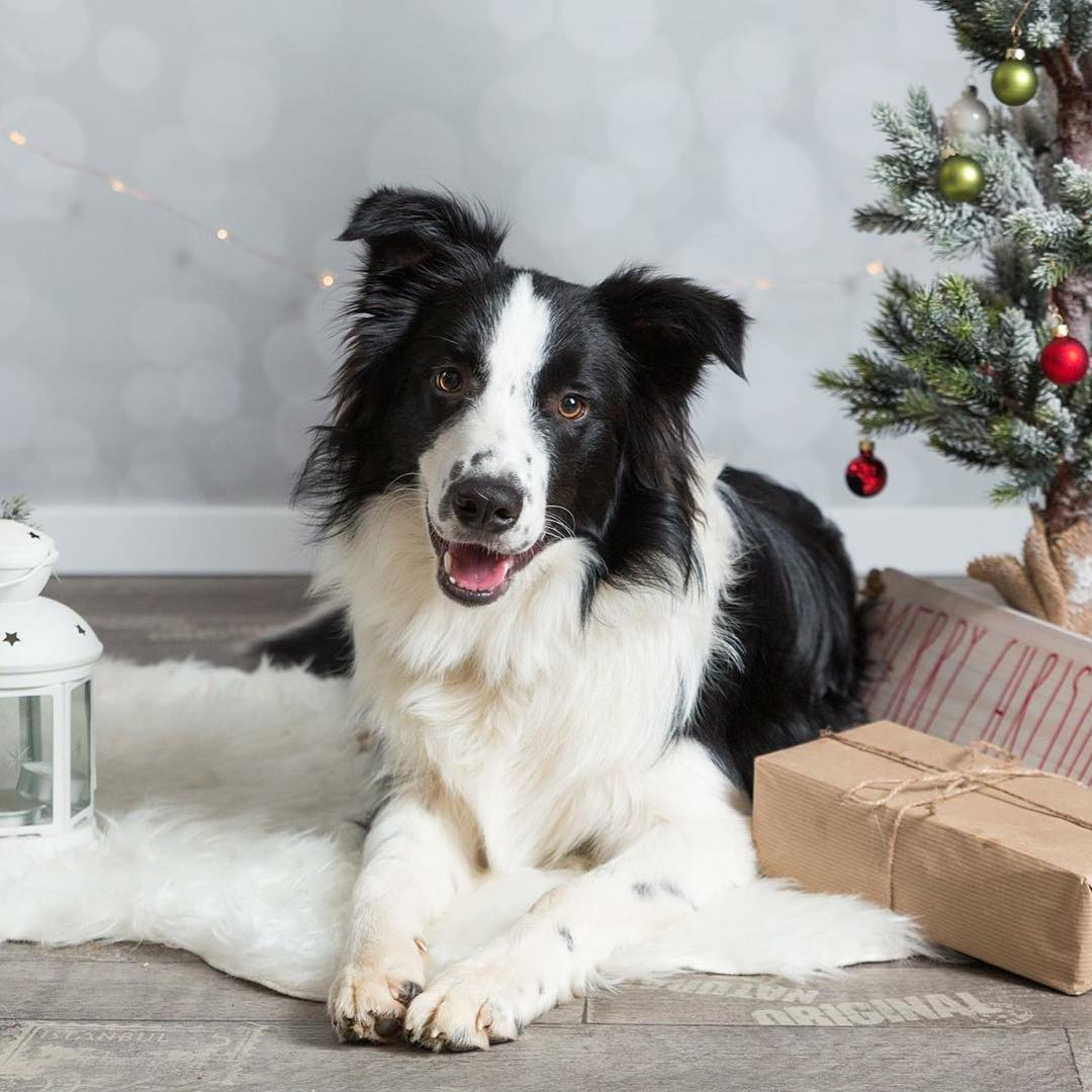 xmasShooting bordercollie