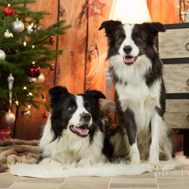 Merry xMas Photo by bbsfotokiste ilovemybordercollie bordercollie borderbande instaborder bordercolliesrockhellip