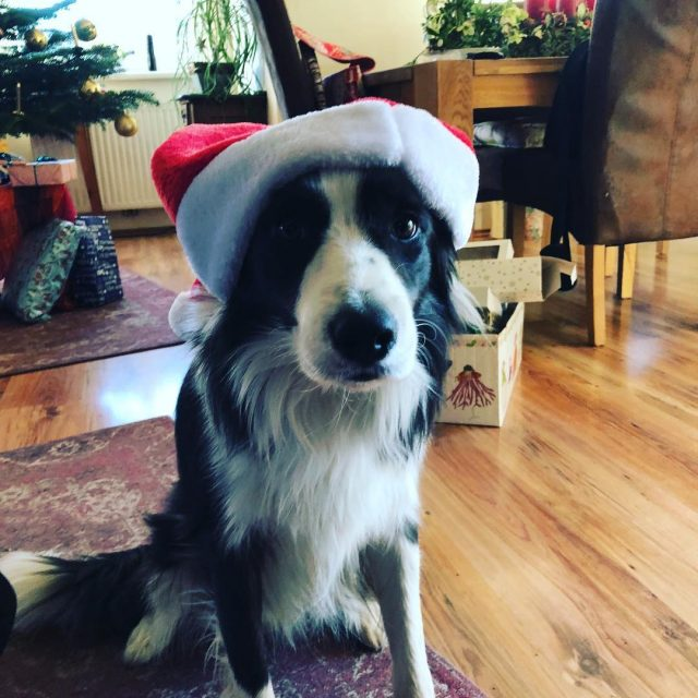 Merry merry xmas to all bordercollie ilovemybordercollie bordercolliesofinstagram bordercolliesareawesome bordercollielove