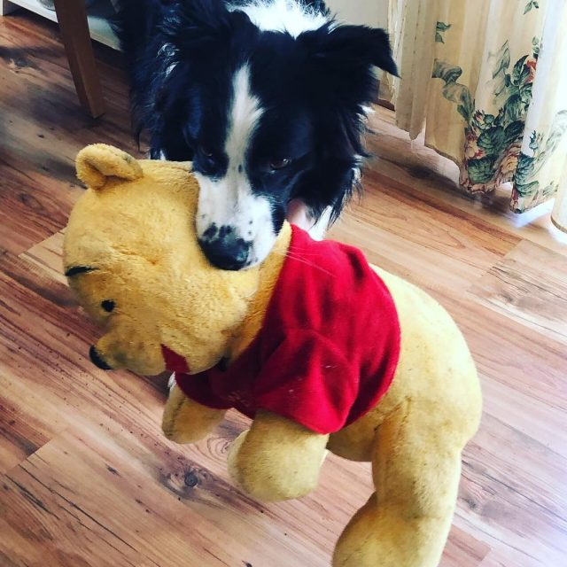 Das wars Winnie Pooh bordercollie doglover bordercolliesoftheday bordercolliesofinstagram