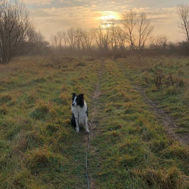 The early dog catches the morningsun happydogmum doglover bordercollie ilovemybordercolliehellip